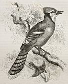Old illustration of Blue Jay (Cyanocitta cristata). Created by Kretschmer and Jahrmargt, published o