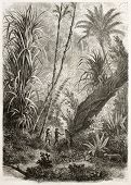 Old illustration of virgin forest in Car Nicobar, Indian ocean.  Created by De Bar after sketch of S