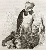 Old illustration of Harpy Eagle (Harpia harpyja). Created by Kretschmer, published on Merveilles de