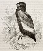 Old illustration of Bateleur (Terathopius ecaudatus). Created by Kretschmer and Wendt, published on
