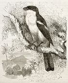 Tropical Boubou old illustration (Laniarius aethiopicus). Created by Kretschmer and Schimid, publish