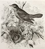 stock photo of nightingale  - Nightingale old illustration  - JPG