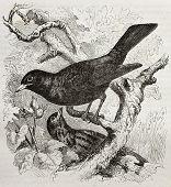 Common Blackbird old illustration (Turdus merula). Created by Kretschmer and Illner, published on Merveilles de la Nature, Bailliere et fils, Paris, 1878