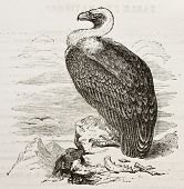 Griffon Vulture old illustration (Gyps fulvus). Created by unidentified author, published on Merveilles de la Nature, Bailliere et fils, Paris, 1878