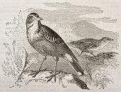 Tawny Pipit old illustration (Anthus campestris). Created by Kretschmer, published on Merveilles de