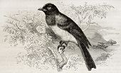 Common Bulbul old illustration (Pycnonotus barbatus). Created by Kretschmer and Illner, published on