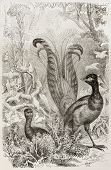 Superb Lyrebird old illustration (Menura novaehollandiae). Created by Kretschmer and Illner, publish