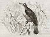 Great Reed Warbler old illustration (Acrocephalus arundinaceus). Created by Kretschmer, published on