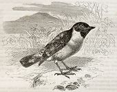 European Stonechat old illustration (Saxicola rubicola). Created by Kretschmer and Wendt, published