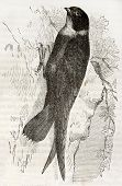 White Throated Needletail old illustration (Hirundapus caudacutus). Created by Kretschmer and Wendt,