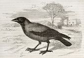 Hooded Crow old illustration (Corvus cornix). Created by Kretschmer and Jahrmargt, published on Merv