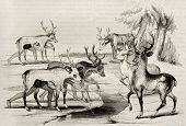 Native Americans camouflage hunting deers in Florida. By unidentified author, published on Magasin Pittoresque, Paris, 1842
