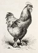 Old illustration of Cochin chicken (gallus gallus). Created by Lavielle and Jacque, published on L'I