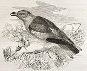 European Roller old illustration (Coracias garrulus). Created by Kretschmer and Illner, published on