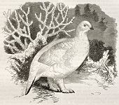 Willow Ptarmigan in winter plumage old illustration (Lagopus lagopus). Created by Kretschmer and Jah