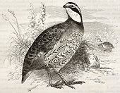 Northern Bobwhite old illustration (Colinus virginianus). Created by Kretschmer and Jahrmargt, published on Merveilles de la Nature, Bailliere et fils, Paris, ca. 1878