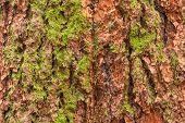 Douglas fir bark texture background.