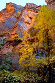 Aspen Fall Colors In Zion National Park