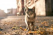Gray Homeless Cat Goes On The Sidewalk With Yellow Leaves poster
