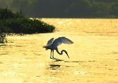 Egrets  play in the water fishing