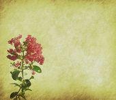 Krepp Myrtle Blumen auf alt Grunge antike Papier Textur