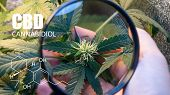 Psychoactive Elements In Marijuana Buds. Magnifying Glass To Check Marijuana Harvest Cbd Thc poster