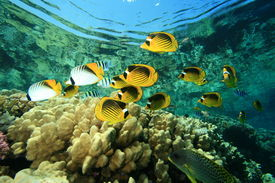 picture of sergeant major  - Tropical Fish and Coral Reef - JPG
