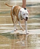 a pit bull mix at a public pool