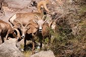 Desert Big Horn Sheep