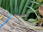 foto of harmless snakes  - A pair of garter snakes crawling on an old broom - JPG