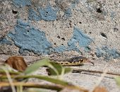 Garter Snake And Concrete
