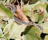 Peeking Garter Snake