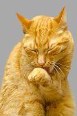 Um gato velho isolado no fundo cinza.
