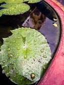 Drop Of Water On Green Leaf Of Lotus