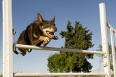 stock photo of cattle dog  - brown australian cattle dog jumping in a competition of agility - JPG