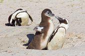African Penguin Chick Demanding Food