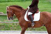 Lusitano Pferd mit Reiter
