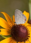 Ventral view of a diminutive Eastern Tailed-Blue butterfly feeding on a Black-Eyed Susan flower
