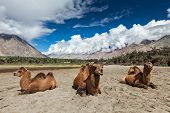 Bactrian camels in Himalayas. Hunder village, Nubra Valley, Ladakh, Jammu and Kashmir, India