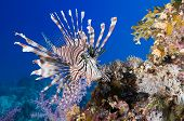 Pterois volitans, Lionfish on coral reef