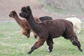 Alpacas corriendo