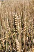 Ears In The Corn Field