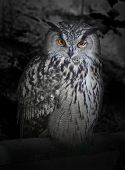 stock photo of owl eyes  - The evil eyes in the night - JPG