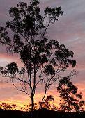 Australian Eucalyptus Gum Tree Against Sunset