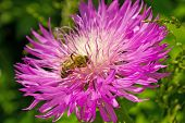 Honey Bee Collect Nectar