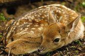 Closeup young fallow deer