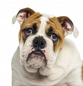 Close-up of an English Bulldog puppy looking desperate, 4 months old, isolated on white