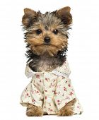 Dressed up Yorkshire Terrier puppy, looking at the camera, 10 weeks old, isolated on white