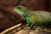 Iguana, Chinese Water Dragon