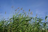 High reed bulrush on blue sky in a sunny summer day